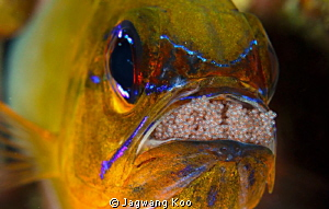 Mouth-Brooding of cardinalfish by Jagwang Koo 